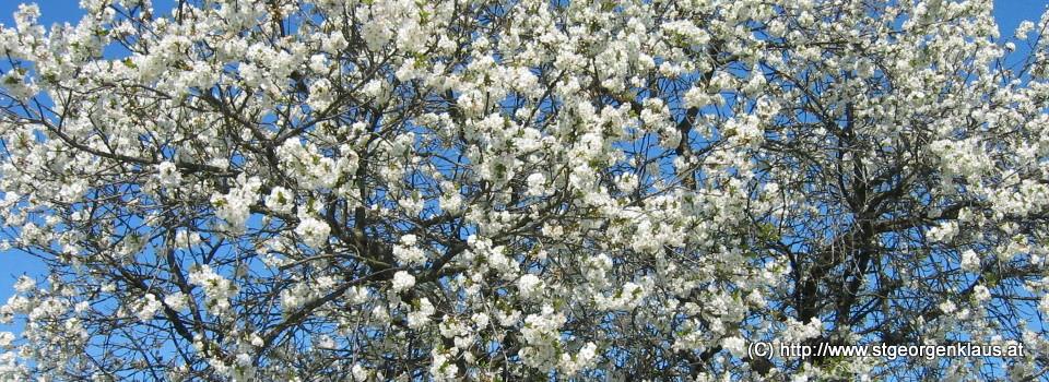 Baumblüte im Mostviertel